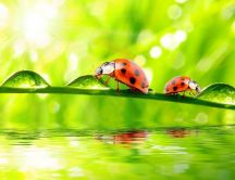 Two ladybugs on a leaf full with big water drops