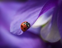 Beautiful HD wallpaper - ladybug on a purple petal