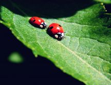 Two ladybugs run on a big green leaf