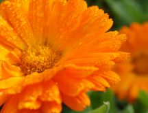 Beautiful orange flower full with water drops - Hot summer