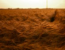 Wheat field felled by wind - weather whims
