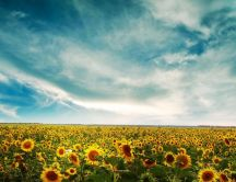 Wonderful field full with sunflowers - Nature hd wallpaper