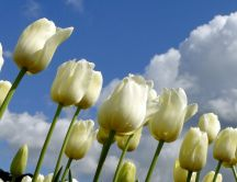 White beautiful tulips in the garden - HD wallpaper