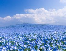 Field full with blue flowers - Wonderful nature wallpaper