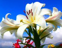Wonderful lily flower in the garden - HD macro wallpaper