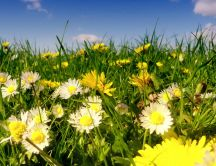 Perfume from daises - Beautiful yellow flowers on the field