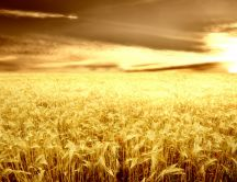 Wonderful nature - golden wheat field in the sunset