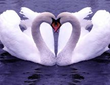 Two lovely swans on the lake - Pure love