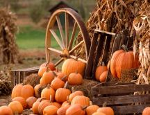 Orange pumpkins - Autumn harvest
