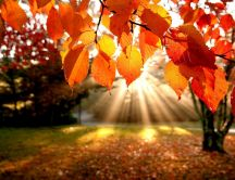 Amber Autumn leaves and a beautiful sunshine