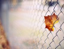 Amber leaf caught in wire mesh - HD macro Autumn wallpaper