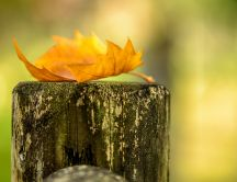 Wonderful Autumn leaf on a trunk of tree - Macro HD wallpape
