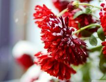 Macro red flowers full with snow - HD wallpaper
