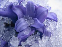 Ice on a beautiful purple flower - HD wallpaper