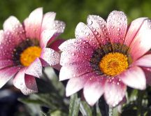 Big water drops on the flowers in the morning -Macro picture