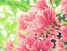Pink flowers - Blossom trees in the spring season