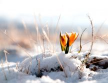 Wonderful orange tulips under the snow - HD wallpaper