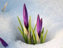 Purple flowers under the snow - Macro HD wallpaper