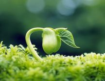 Macro wonderful germinated pea - HD green wallpaper