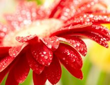 Macro water drops on a wonderful red flower