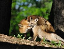 Fox mother and son - Sweet love between animals