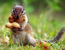 Funny little squirrel with almonds - HD animal wallpaper