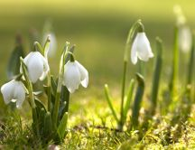 Spring flowers in the light of sun - Beautiful snowdrops