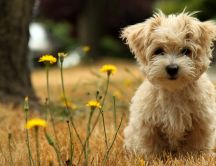 Yellow dandelion and browny little dog - HD animal wallpaper