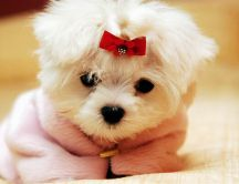 Sweet little white dog with a red ribbon - Animal wallpaper