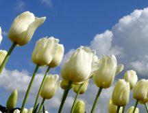 Garden full with white tulips - Wonderful flowers
