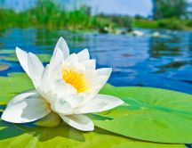 Wonderful white water lily on the lake - HD wallpaper