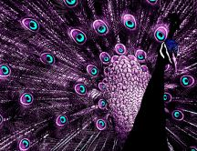 Wonderful Purple Peacock - Blue eyes