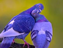 Love between two blue doves - HD wallpaper