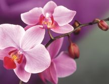 Macro wallpaper - Beautiful pink Orchid flower