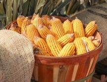 Basket full with golden corn - HD nature wallpaper