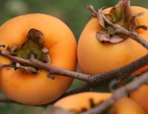 Orange Kaki fruit - Delicious and full with vitamins- Autumn