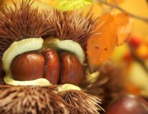 Triple chestnuts in one house - Macro Autumn fruit