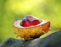 Professional photo with one chestnut - HD Autumn fruit