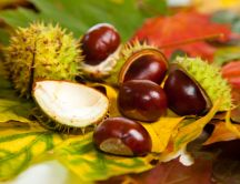 Chestnuts on the Autumn leaves in the forest