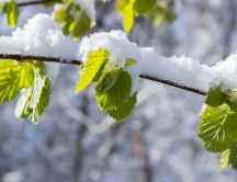 Macro nature wallpaper - Snow over the trees