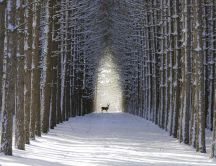 Wild deer on a path in the forest - Winter snow