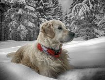 White dog sit in the cold snow - Winter wallpaper