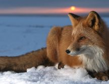Red fox sit on the snow - Professional photo