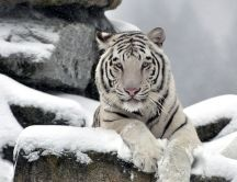 Wild white tiger on a rock - Professional photo