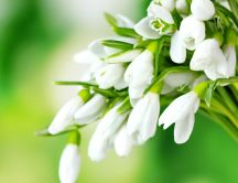 Spring season flowers - Bouquet of snowdrops