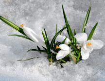 Snowdrops under the snow - Beautiful spring season flowers