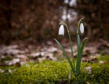 Little snowdrops in the nature - Spring flowers