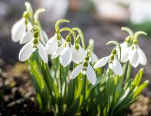 Spring sunny day and beautiful snowdrops in the garden
