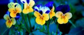 Yellow and blue spring flowers in the garden - HD wallpaper