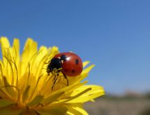 Macro insect wallpaper- Ladybug on a yellow dandelion flower